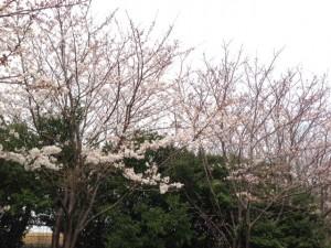 若洲公園の桜