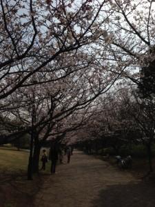 葛西臨海公園、桜